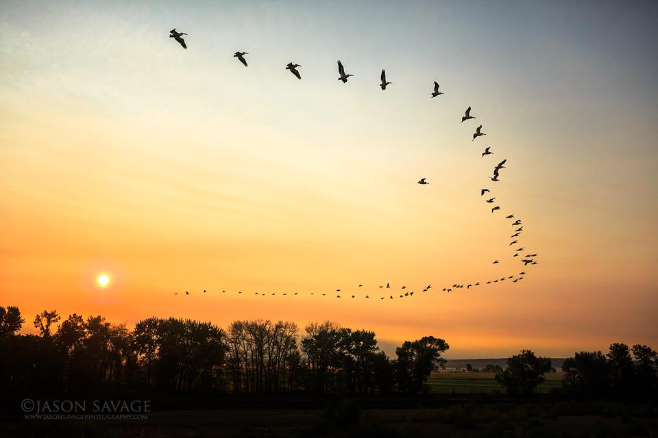 Pelicans Montana