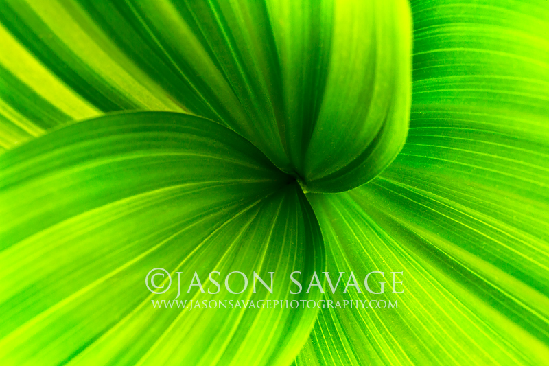 Macro photo of False Hellebore or Corn Lilly
