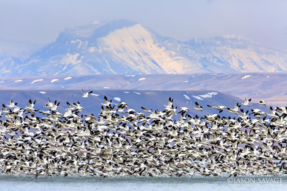 Snow Geese Audubon