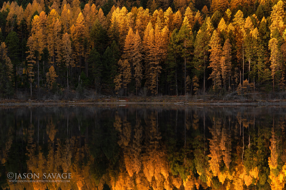 Larch Reflections