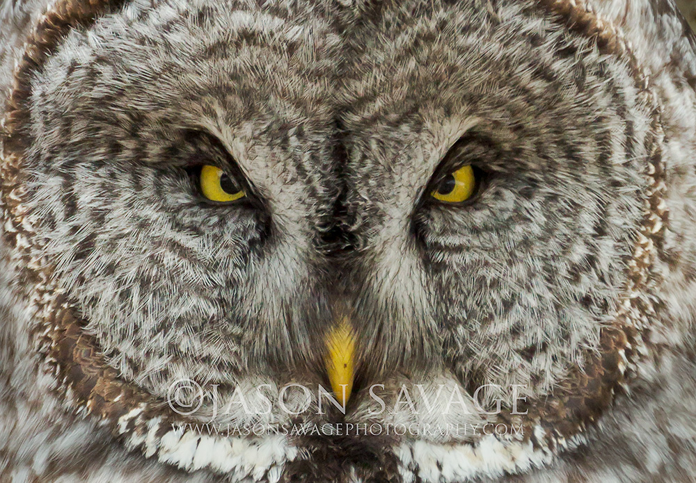 Great Gray Owl Bozeman Montana