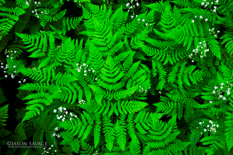 Ferns, Glacier National Park