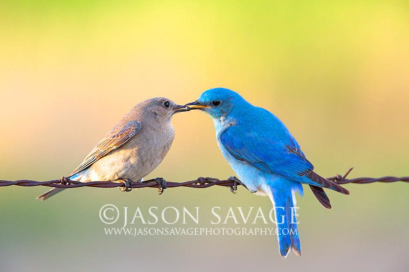 Montana Bluebirds