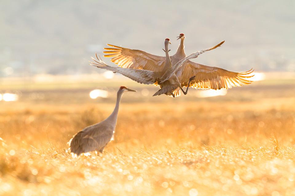 Sandhill Cranes Montana