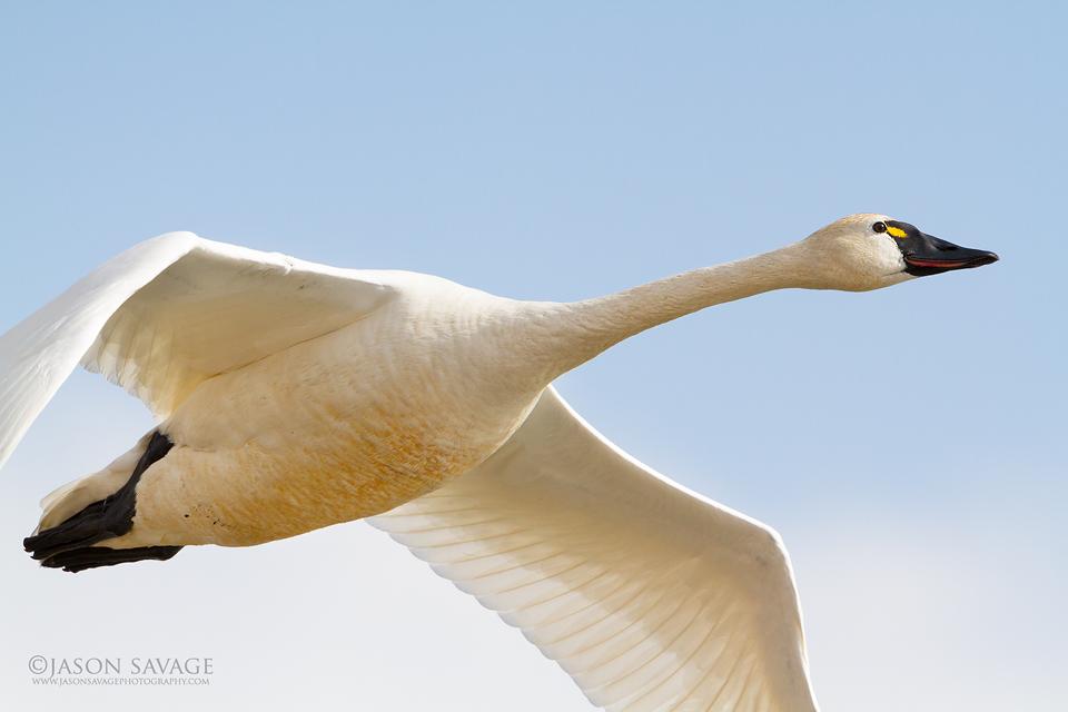 Montana Tundra Swan