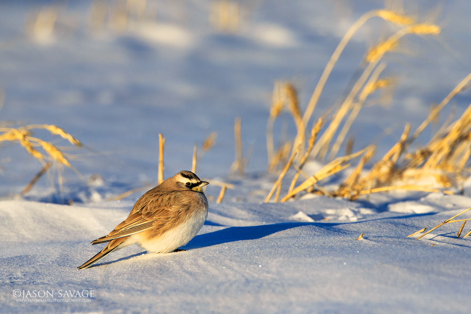 Horned Lark Montana Winter