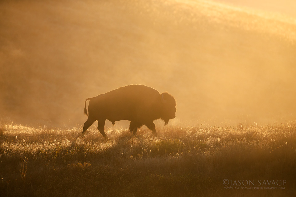 Montana Bison Photography