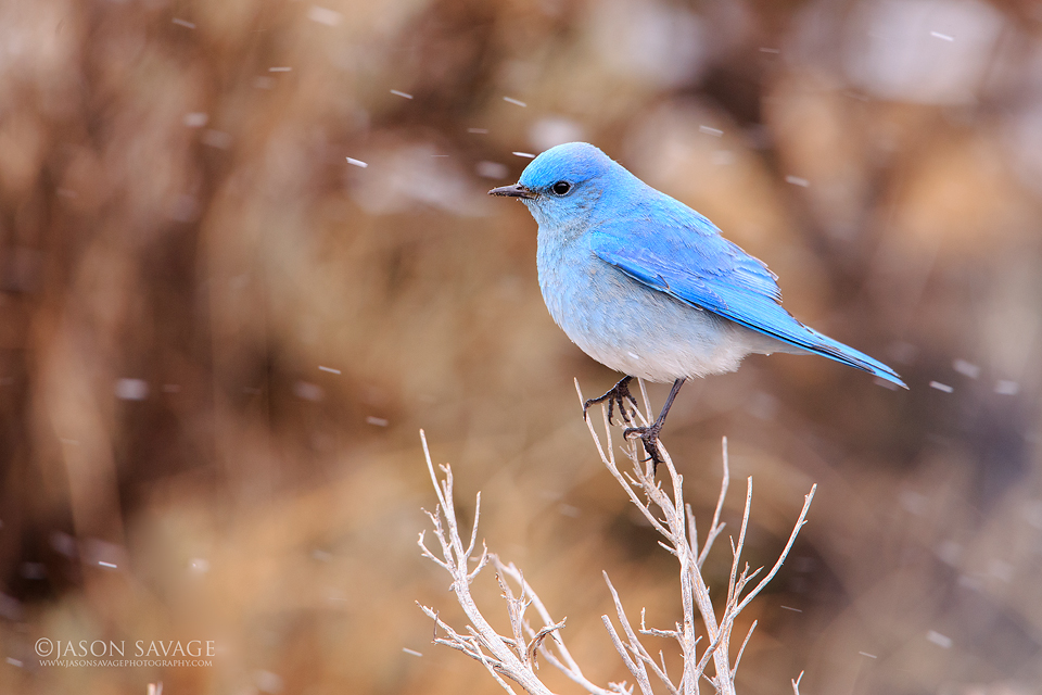 Yellowstone Bluebird
