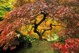 Japanese Maple Portland