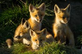 Fox Kits Montana