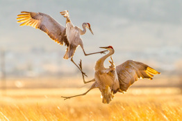 Sandhill Cranes Photography
