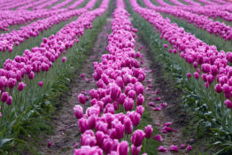 Washington Tulips
