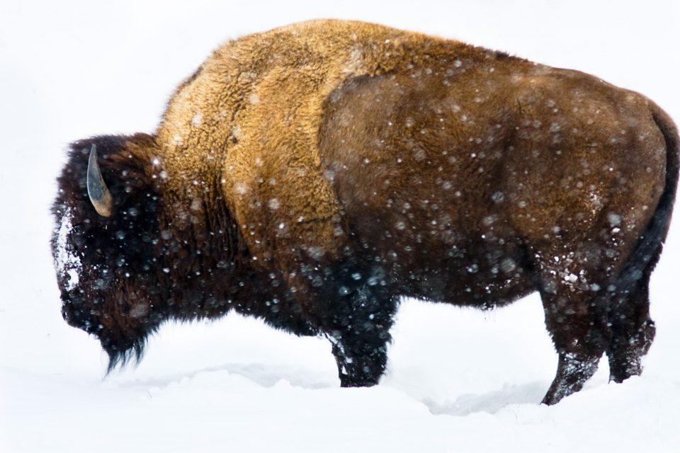 Bison Profile Yellowstone